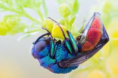 Sleeping on Bedstraw (johnhallmen) Tags: macro insect wasp hymenoptera cuckoowasp canonmpe65 zerenestacker sonynex7