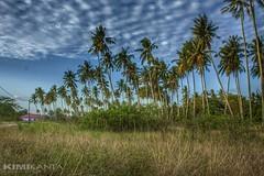#CoconutGarden (KIMI KANTA) Tags: trees panorama colour green beautiful iso100 aperture village coconut fresh malaysia tall 20mm penang canondslr nofilter niceview penaga coconutgarden