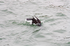 20160101_112316 (mr_malcolm.fletcher1) Tags: birds diving location scarborough cormorant southbay northyorkshire