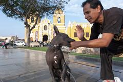 Peruvian Hairless Dog _9038 (hkoons) Tags: dog peru southamerica america country canine spanish latin breed hairless trujillo peruvian plazadearmas peruvianincaorchid viringo calato peruvianhairlessdog incahairlessdog perrosinpelodepero