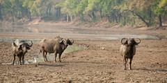SJ7_2800 (glidergoth) Tags: park south safari national zambia waterbuffalo luangwa bubalusbubalis