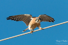 Male American Kestrel. Adams County, Colorado.