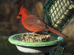 Male Cardinal and Seed Cake taken with a Canon SX280 HS IMG_4121 (Ted_Roger_Karson) Tags: camera friends red male bird birds animal animals cake yard canon miniature back illinois backyard hand cardinal zoom outdoor seed feeder powershot telephoto held pocket northern suet hs compact songbird malecardinal twop backyardbirds backyardanimals northernillinois backyardfriends handheldcamera seedcake thisisexcellent 20xopticalzoom miniaturecompactpocketcamera canonpowershotsx280hs