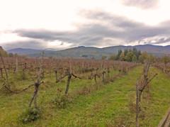 Vigne Canto alla Moraia 01_12_2015 (Canto alla Moraia) Tags: winter italy vineyard italia wine vineyards tuscany organic toscana inverno vi vino arezzo valdarno biologico vigna setteponti