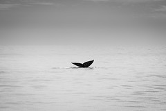 20160102 -whales_11 (Laurent_Imagery) Tags: ocean california light sea blackandwhite west nature water weather animal magazine blackwhite pacific bright sandiego noiretblanc horizon watching pacificocean editorial whale whales westcoast noirblanc baleine oceanpacific