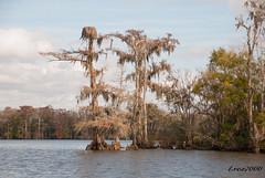 LANDSCAPE (t.rex7000) Tags: landscape alabama bayou swamp spanishmoss cypresstrees mobiletensawdelta trex7000