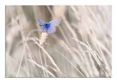 Minute papillon ♂ (Voyage Au delà d'un Regard) Tags: papillon argusbleu azurécommun butterflies bretagne breizh macro