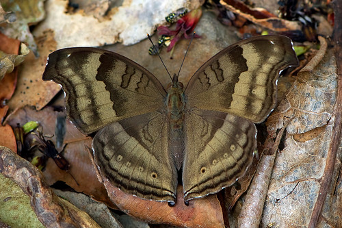 Junonia iphita - the Chocolate Pansy