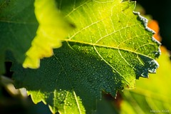 DSC_2708 (Marlon Fried) Tags: herbst nebel landschaft natur makro bokeh bltter weinberg tau fall autumn macro leaves fog dew landscape vine