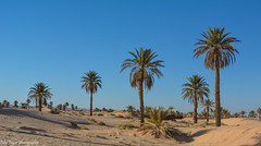 Algerian Sahara (Bilel Tayar) Tags: algeria sahara ouargla sand palm palmiers dattes sky landscapes exterieur touggourt bleu jaune