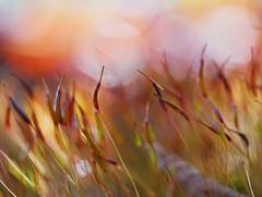 Miracles (Sun Dogs & Daylilies) Tags: moss sporangium sunlight macro bokeh light panasoniclumix panasonic lumix dmcgx8 gx8 45mm prime microfourthirds mft