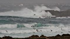 Morning Breakers  IMG_5664 (Ronnierob) Tags: stormyseas quendalebay shetlandisles