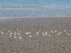 Ringed Plovers (JulieK (finally moved to Wexford)) Tags: hww ringedplover bird estuary beach lugworm casts sea seascape seashore ocean celticsea sand charadriushiaticula wingwednesday duncannonbeach wexford ireland irish