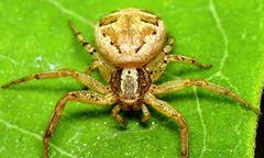 bug of the day - Arachtober (urtica) Tags: framinghamma framingham ma massachusetts usa night bugoftheday arachtober spider arachnida araneae arachnid groundcrabspider crabspider xysticus