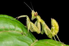 Mantis (Creobroter sp.) - PA120128 (nickybay) Tags: singapore durianloop macro hymenopodidae mantis meantodea creobroter nymph