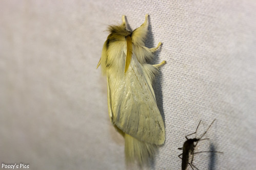 Long Tailed Bombyx
