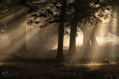 Morning Light (4orty7even) Tags: fall martingriffett october richmondpark surrey uk autumn mist nature sunbeam sunlight sunrise woodland woods trees silhouette