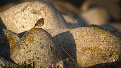 Rouge gorge... (koulapik) Tags: bzh bretagne finistre oiseaux sunsetsunrise