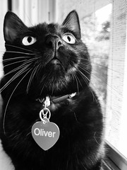 oliver (jojoannabanana) Tags: 3662016 blackandwhite blackcat canonpowershot cat closeup face monochrome s100 whiskers