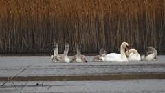 Khmnokk-luik (Cygnus olor) Mute Swan Family (eerokiuru) Tags: khmnokkluik cygnusolor muteswan hckerschwan