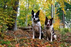 Sit (D.A.M) Tags: autumn autumncolours dog dogs forest bordercollie eastlothian scotland westsaltouneastsaltoun westsaltoun eastsaltoun
