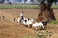 16 3021 - Inde, sur la route d'Agra, troupeau de chèvres (Jean-Pierre Ossorio) Tags: inde rajasthan travauxdeschamps agriculture animaux chèvre troupeau