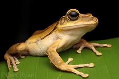 Polypedates megacephalus/mutus (Max Ryan Photography) Tags: frog treefrog macro polypedates asianfrog feet amphibian herping herpetology vietnam herpingvietnam