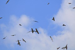 Migratory raptors (mattlaiphotos) Tags: nationalpark raptor eagle grayfacedbuzzardeagle buzzard migration migratorybird bird predator wildlife nature soar fly flying sky flock kentingnationalpark taiwan birdwatching