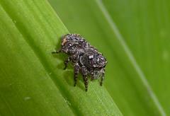 Patterned (tessab101) Tags: salticid salticidae salticids jumping spider brown patterned bronze markings blue mountains nsw australia arachnid arthropods