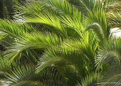 Ich liebe Grn * I love green * Me gustan verde *   .  P1320843-001 (maya.walti HK) Tags: 2016 balearen copyrightbymayawaltihk espaa flickr mallorca palmen palmeras palms panasoniclumixfz200 pflanzen plantas plants spain spanien 271116