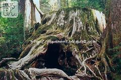 161027y (finalistJPN) Tags: giantcedar treestump namedwilsonsstump 3000aged yakushimaisland greatnature worldheritage bigtree trekking trailcourse kyushu discoverjapan japanguide traveljapan nationalgeographic discoverychannel stockphotos availablenow