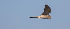 looking for luch (jim w-y) Tags: birdofprey birdinflight kestrel elmley kent hunting