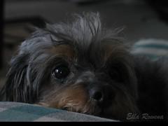 Dapper (Ella Rowena) Tags: dog pets puppy ella rowena pet animal