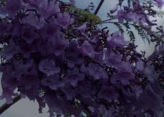 La Palma 24a (megegj)) Tags: gert bloem flower fiore blume fleur