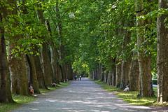 Platanenallee Neckarinsel, Tübingen (hilarius.at) Tags: platanen allee neckarinsel tübingen