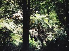 Tree fern (Matthew Paul Argall) Tags: treefern ferntree fern plant plants halinapix110f haking lomographyfilm 110 110film grainyfilm green orangedots forest garden gardens unlimitedphotos fixedfocus focusfree 200isofilm