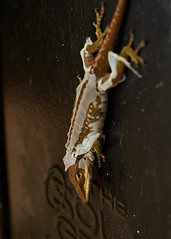 DSC_7024_75 (tombarta) Tags: carrboro 2016 nc anole animal lizard molting