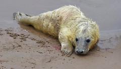 NOVEMBERS NEW ARRIVAL By Angela Wilson (angelawilson2222) Tags: grey seal pub birth wild wildlife nature sea ocean creature lincolnshire trust donna nook angela wilson nikon sealife