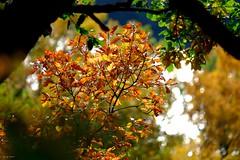 Automne sur les bords du Tarn (jpto_55) Tags: feuille feuillage chêne automne xe1 fuji fujifilm fujixf55200mmf3548rlmois hautegaronne france