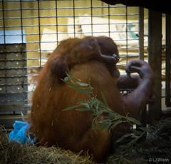 Batang and baby Redd - Orangutans (Lora J Photography) Tags: 2016 batang fonz nationalzoo orangutan redd