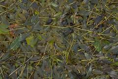 OliveGreen (Tony Tooth) Tags: nikon d7100 tamron 2470mm olivegreen shadesofgreen fractal leaves fallen autumn fall texture pattern foliage broughpark leek staffs staffordshire