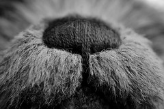 Macro Monday - Stitch (macduff312) Tags: charilebear teddy stich macro monday hamishnose macromonday stitch stitching embroidery sewing thread teddybear bear fur furry black white puzzle canon 50mm lens hamish nose tuesday brown muzzle charlie