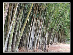 Ibirapuera (Ronaldo Miranda, compositor) Tags: ibirapuera bambuzal bambus bamboo parque park jardins gardens paisagismo burlemarx ecologia verde green sopaulo brasil 2016