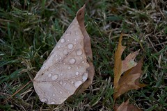wet morning leaves (Pejasar) Tags: autumn fall november tulsa oklahoma leaf leaves damp wet nature drops water life color