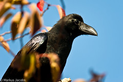 Large-billed Crow (markus.jacobs1899) Tags: japan natur osaka tiere vgel wildtiere nikon nikkor300mm d700 krhe rabenvogel animal nature bird crow cornacchiadellagiungla corbeaugrosbec
