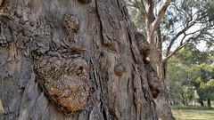 gnarled trunk (ClareSnow) Tags: bark treetrunk eucalyptusrudis floodedgum naturereserve lakegwelup lakegwelupreserve perth australia spring