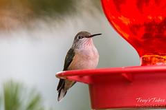A Hummingbird poses on a feeder
