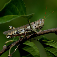 something wicked this way comes (courtney065) Tags: macro nature leaves animal animals fauna insect insects grasshoppers nikond200 greennature naturescreatures