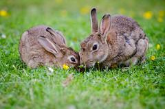 Anglų lietuvių žodynas. Žodis european rabbit reiškia europos triušių lietuviškai.
