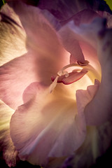 Glowing Glad (http://fineartamerica.com/profiles/robert-bales.ht) Tags: pink plants plant flower color macro nature closeup wow spectacular spring flora purple superb awesome fineart surreal petal idaho stamen baskets bloom bulbs sensational glowing serene inspirational spiritual delicate botany magical spikes tranquil isolated emmett magnificent inspiring gladiolus perennial stupendous iphone iridaceae pistle flowerbulbs cutflowers swordlily flowerspikes inflorescences bisexualflowers robertbales gladiolusdisambiguation